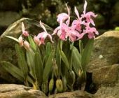 orchids-on-rock01.jpg