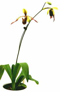 image-files/paph-lowii-01.jpg