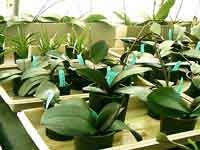 Phals-in-Trays01.jpg