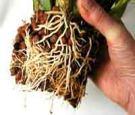 Oncidium roots