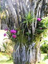 orchids-on-tree01.jpg