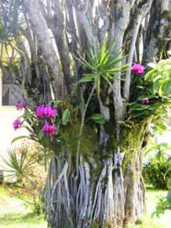 orchids-on-tree01.jpg