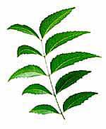 Neem-Leaf01.jpg