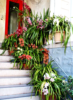 cymbidiums on steps