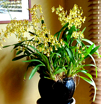 Orchid Care with Hydroponics - Oncidium