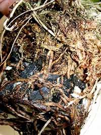 oncidium-roots07.jpg