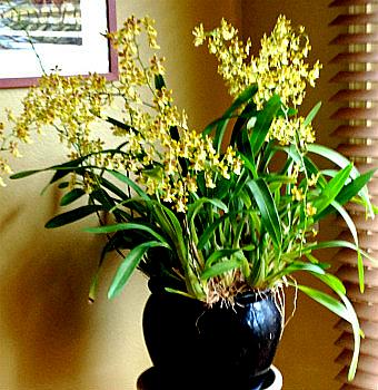 Orchid Care Oncidium